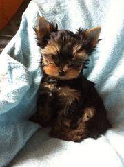 Yorkshire Terrier Welpen Black and