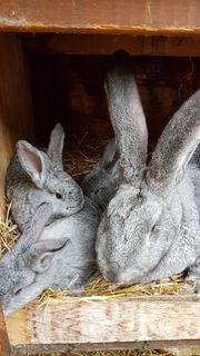 Kaninchen Deutsche Riesen reinrassig Chinchillafarben