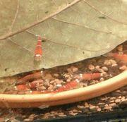 Garnelen Schnecken Süsswassertang