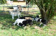 Pyrenäenberghund Mischlingswelpen abzugeben