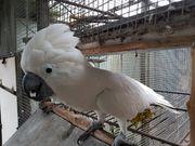 Weißhauben Kakadu