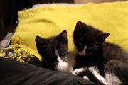 Hauskatzenbabys zu verkaufen