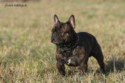 Deckrüde Französische Bulldogge kein Verkauf