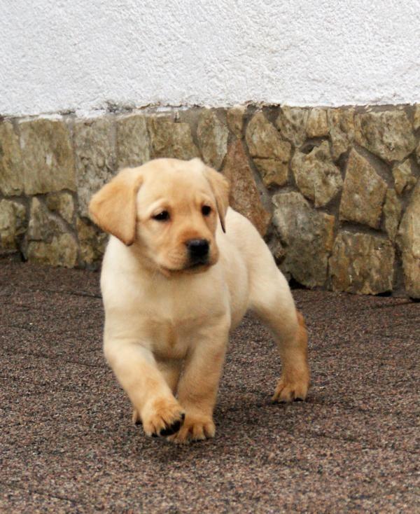 Labrador Welpen schwarz und gelb Rüden    €1.300,-                    Verhandlungsbasis      größere Bilder                                                           Standort:D-37345 Großbodungen                   Anzeige:    195784000                    - Labrador Welpe Unsere Lexi hat uns einen sehr schönen gelb- schwarzen Wurf kräftiger Labradorwelpen geschenkt Beide Eltern sind HD-A, ED-0, PRA-frei und CNM-frei und die Welpen können nicht an EIC erkranken. Unsere Kleinen wachsen mit e - Großbodungen
