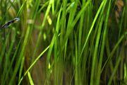 Vallisneria Wasserpflanzen