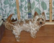 Golden Yorkshire Terrier -