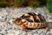 Breitrand Schildkröten Zwergform Testudo marginata