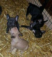 SELTENE Französische Bulldogge Welpen Black