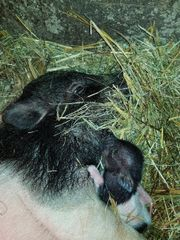 Micro Schweine ganz
