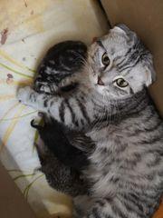 Bkh Schottish Fold kitten mit