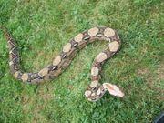 0 1 Boa constrictor