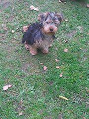 Yorky Yorkshire terrier