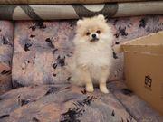 Pomeranian Spitz Welpen
