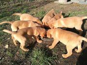 Labrador Retriever Welpen in foxred