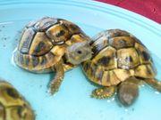 Landschildkröten griechische und maurische
