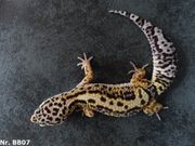 Leopardgecko Boldstripe Bandit 2018 Männchen