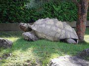 Riesenschildkröten, Schildkröten, Spornschildkröten