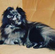 wunderschöner Pomeranian Deckrüde in Blue-