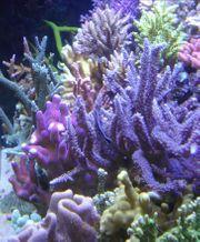Meerwasser Korallen Korallenableger Steinkorallen SPS