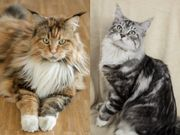 Junges Maine Coon-