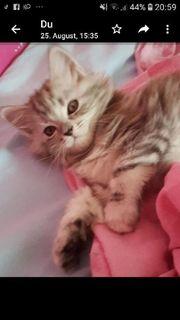 maine coon kitten katze