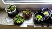 Venusfliegenfalle Dionaea muscipula Fettkraut Pinguicula