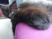 Main Coon Kitten suchen ein