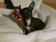 Ein wunderschöner Chihuahua Welpe sucht