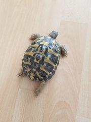 Landschildkröten mit Papiere