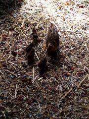 Der kleinste Hühnervogel