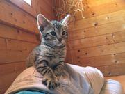 Savannah Katze Kitten