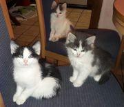 Süsse Halb Perser Katzen Baby