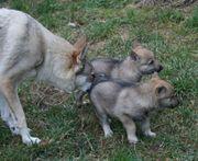 Tschechoslowakische Wolfhund Welpen