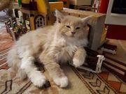 Maine Coon Kitten,