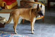 Malinois in Not