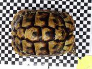 Weibliche griechische Landschildkröte /