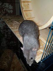 Rattenjungs abzugeben