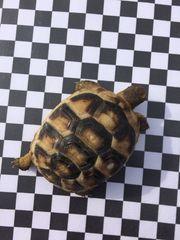 Schildkröten Breitrandschildkröten (Testudo