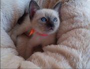 Siam Baby Katze