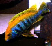 Labidochromis-smeraldo Varianten