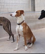 HEROE - Podenco-Mix sucht