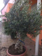 Schöner Olivenbaum Olea