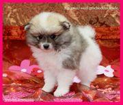Pomeranian Hündinnenwelpen gescheckt