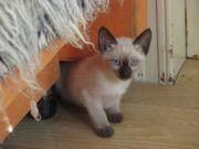 Reinrassige Thai Siam Kitten in