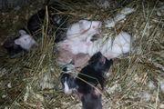 junge Mäuse abzugeben