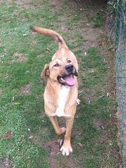 Hund Labrador Boxer