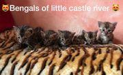 Bengal Kitten mit Papieren