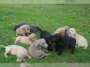 Labrador welpen mit