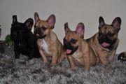 Neugierige Französische Bulldoggen Welpen