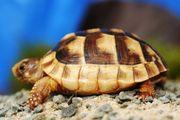 Breitrand Schildkröte Testudo marginata Nz